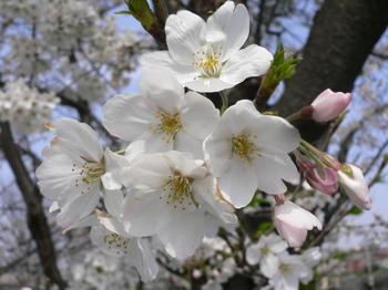 Sakura_2007_010