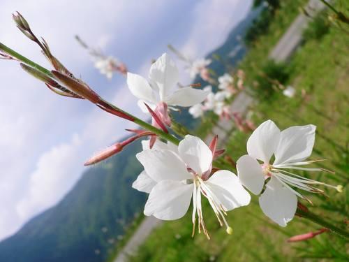 高山植物①